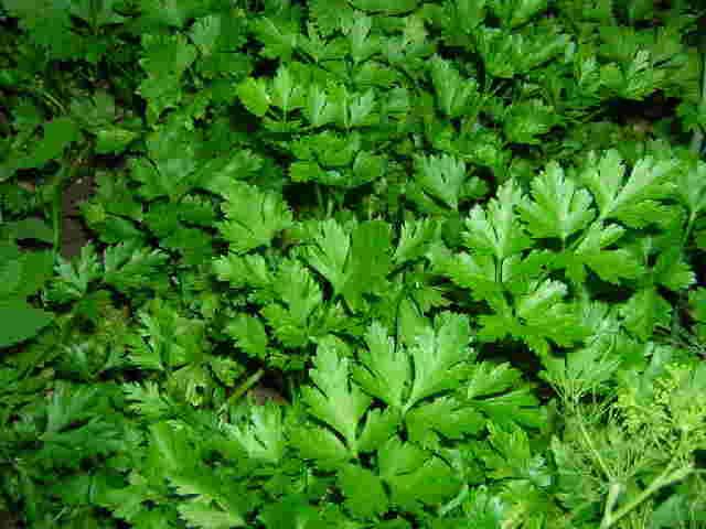 frunzele de telina