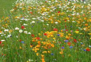 flori de fan - peisaj