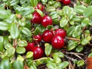 afinele rosii sau merisoarele